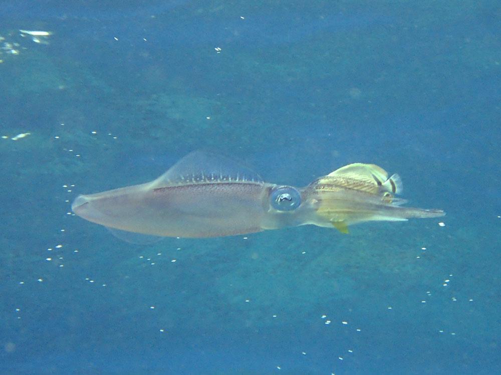 イカの捕食